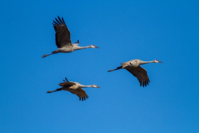 Sandhill Crane Sherburne National Wildlife Refuge Sherburne County MN IMG_5220.jpg