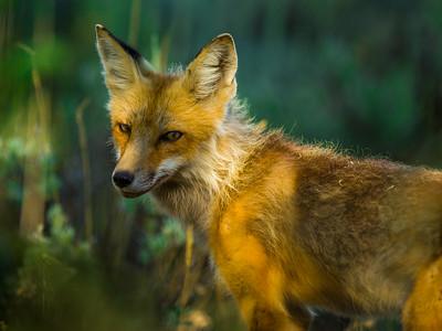 Yellowstone-Wildlife-2015