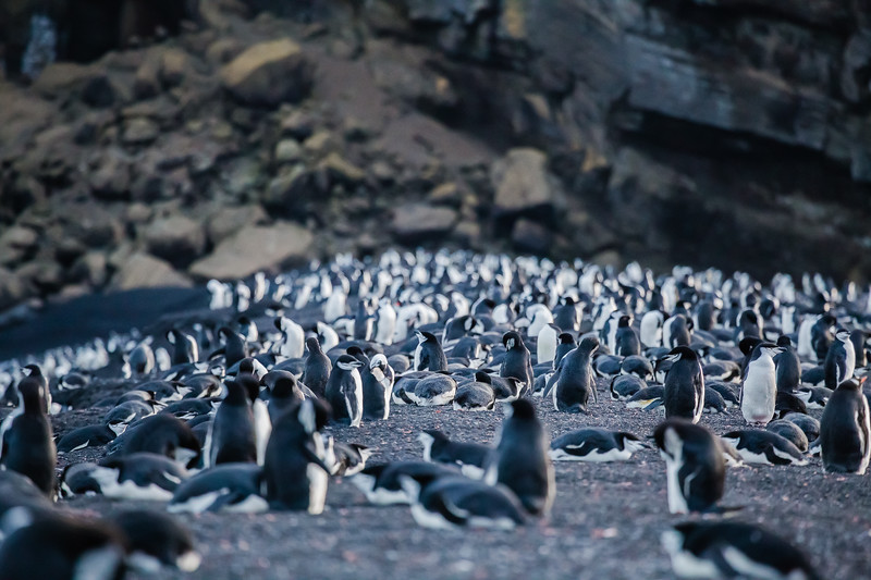 Chinstrap penguins in Deception Island