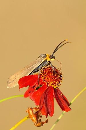 Yellow-Collared Scape Moth (Cisseps fulvicollis) feeding on a flower in Hampton, VA. © 2007 Kenneth R. Sheide