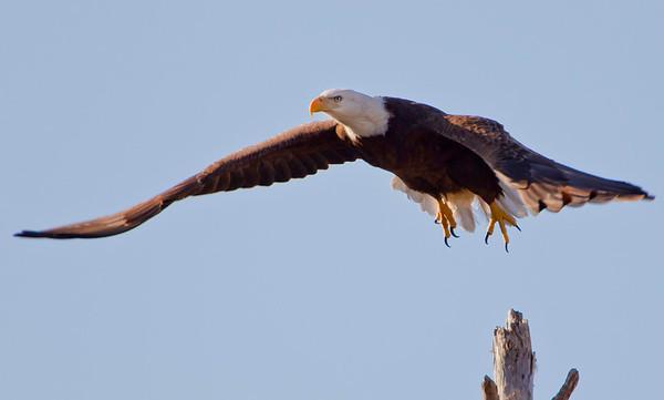2011 New Eaglet on Nest - Videos & Pics (Jan 15th)