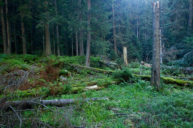 Bór górnoreglowy, Michał Piekarski, 002.jpg