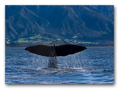 Sperm whale - Kaikoura, New Zealand