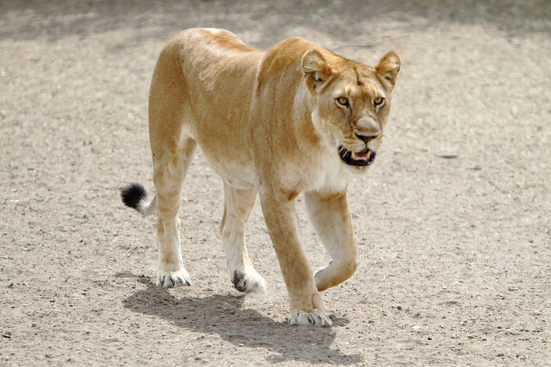 Lioness on Road.JPG