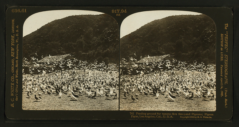 Feeding_ground_for_twenty-five_thousand_pigeons;_pigeon_farm,_Los_Angeles,_Cal.,_U.S.A,_by_H.C._White_Co..png