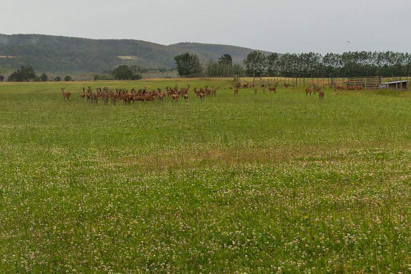 Deer (Hirsch)