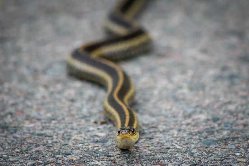 garter snake (1 of 2).jpg