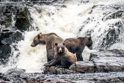 Alaska Kodiak bears