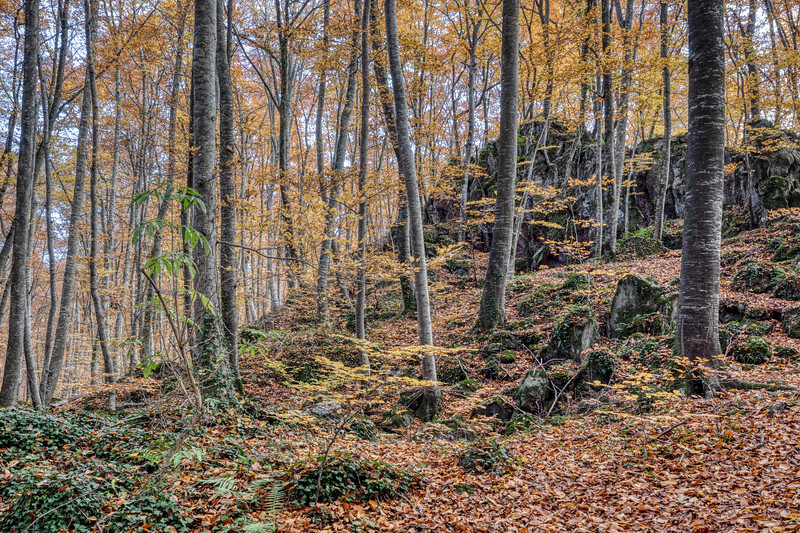 Autumn Colours in La Fageda d'en Jordà (La Garrotxa, Catalonia)