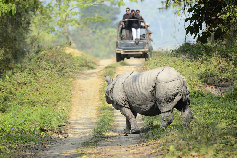 Signature-Kaziranga-Rhino-looking-at-the-Safari-jeep.jpg