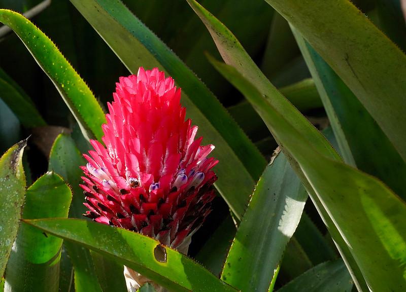 Bromeliad in Lankester Botanical Garden