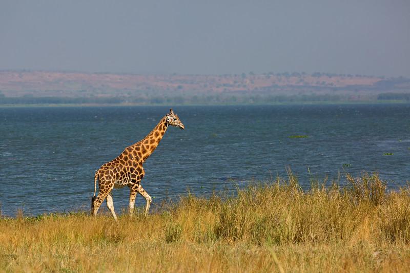 striding giraffe.jpg
