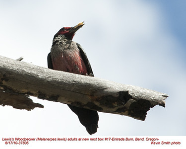 Lewis'WoodpeckerA37805.jpg