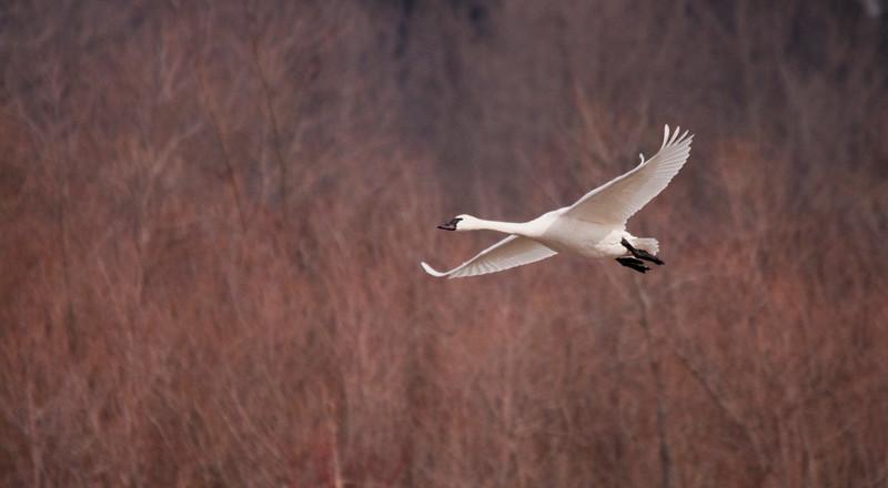 2011 swan migration aylmer (30 of 51).jpg