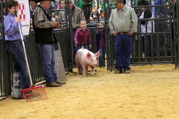 Swine-Yorkshire