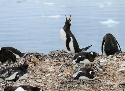 Antarctica: Nekko Bay