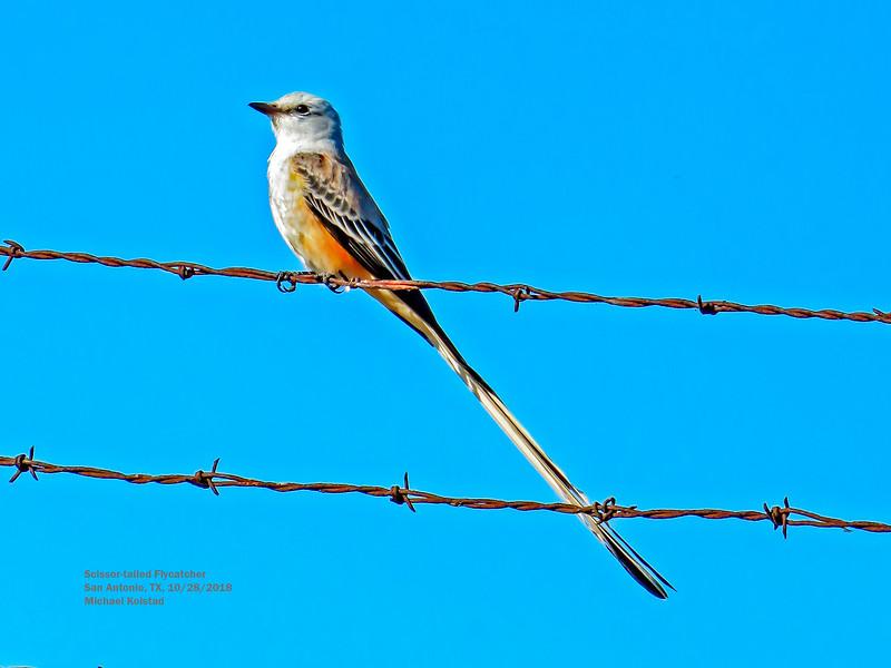 IMG_1377 4T Scissor-tailed Flycatcher San Antonio.jpg