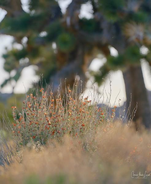 _DSC0422Joshua Tree©CAL.©CAL.jpg