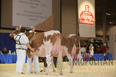 Royal Red & White Holstein Cows