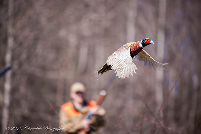 Pheasant Hunt - March 2016