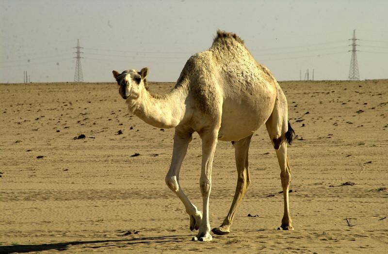 Camel14.jpg