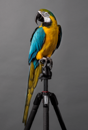 Pele - The Blue-and-yellow macaw