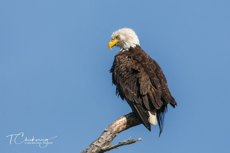 Bald Eagle Perched in Snag Eight 04062019-1554672054104.jpg