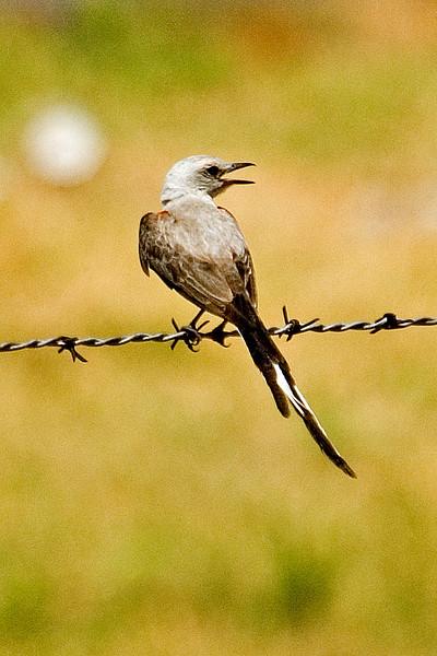 Flycatcher - Scissor-tailed - Perry, OK - 03