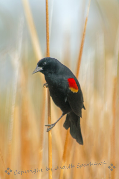 Red-winged Blackbird ~ Photographed at San Jacinto Wildlife Area.