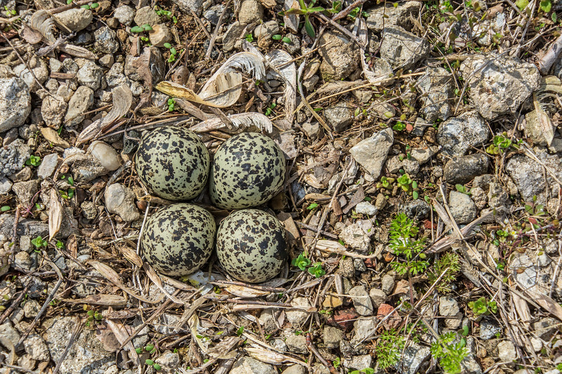 224-4-eggs-killdeer-4.14.jpg