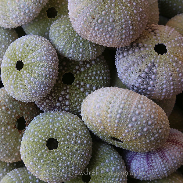 Sea urchins - The symmetry of nature