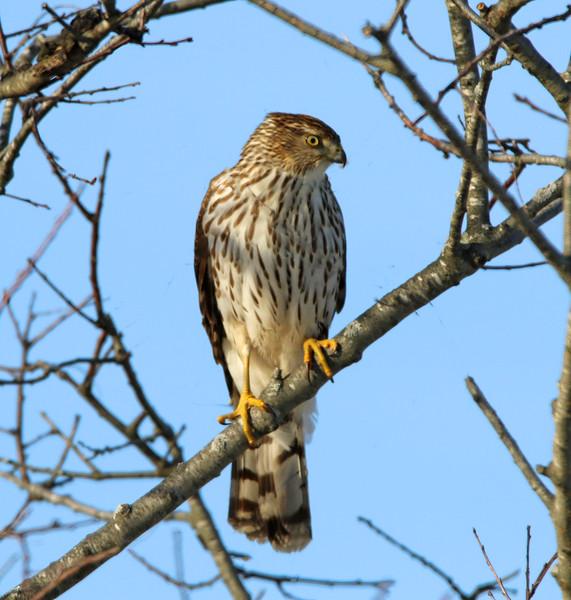 Coopers Hawk tree 2.jpg
