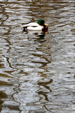 Ducks in Bennington - 010621