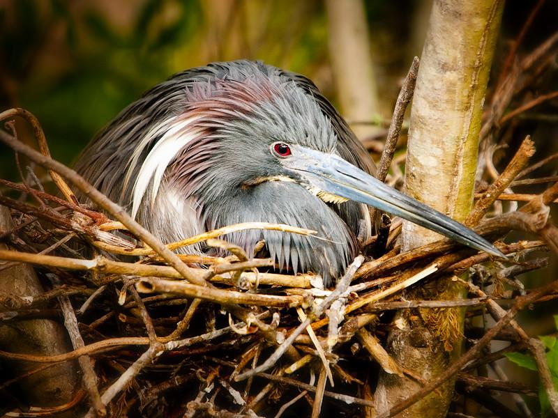 Tri-Colored Heron Incubating