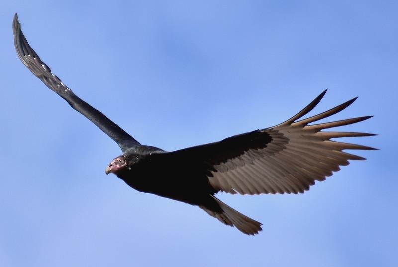 2016 valdivia vulture side best view .jpg