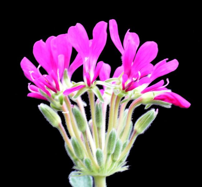 Pelargonium incrassatum Brian Makin Clone 2021-02-11