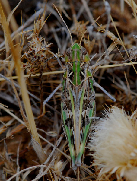 Grasshopper, Camargue South of France 2009 ak