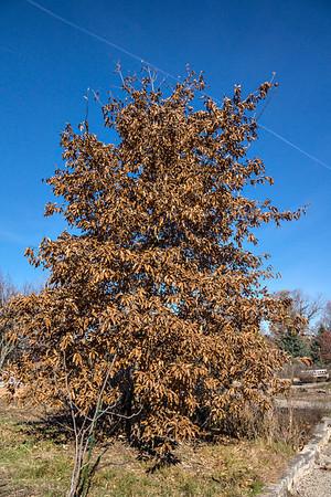 Genus Quercus - Oak trees