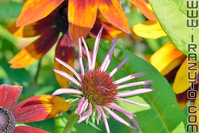 Échinacé - Echinacea