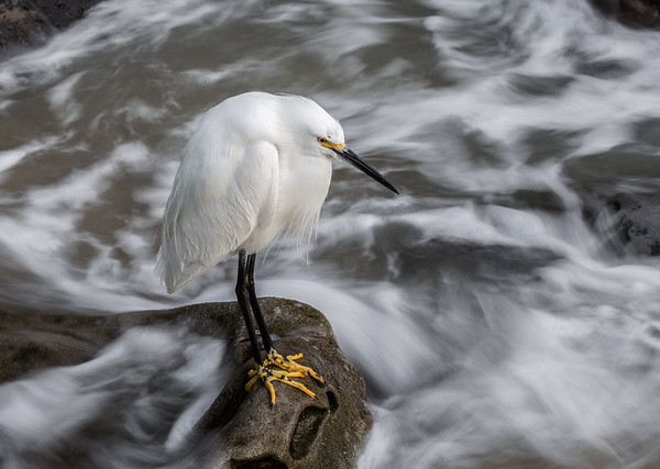 Motionless and Movement Snowy Egret - January 2016