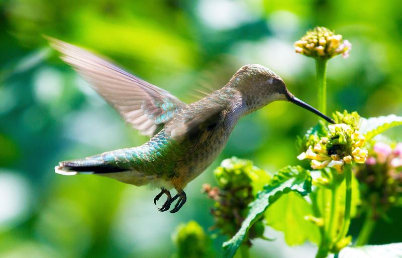 irradescenthummingbird4.jpg