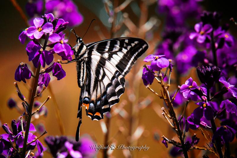 butterfly-37WC.jpg