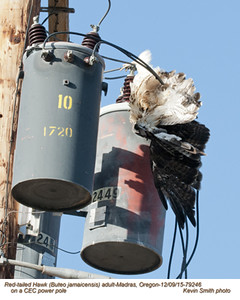 Red-Tailed Hawk-electrocuted A79246.jpg