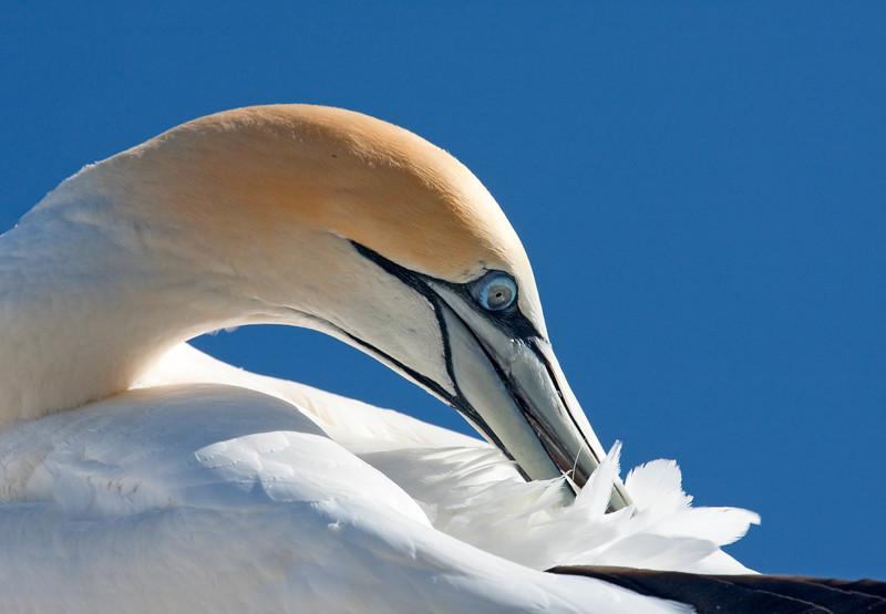 Australian gannet preening, New Zealand