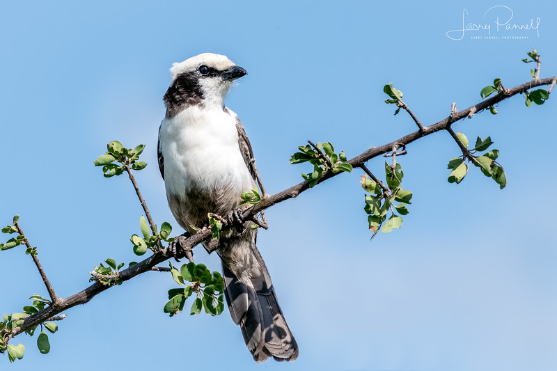 White Crowned Shrike