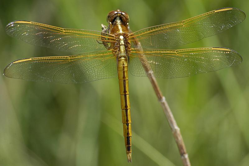 Libellula needhami (Needham's Skimmer), FL
