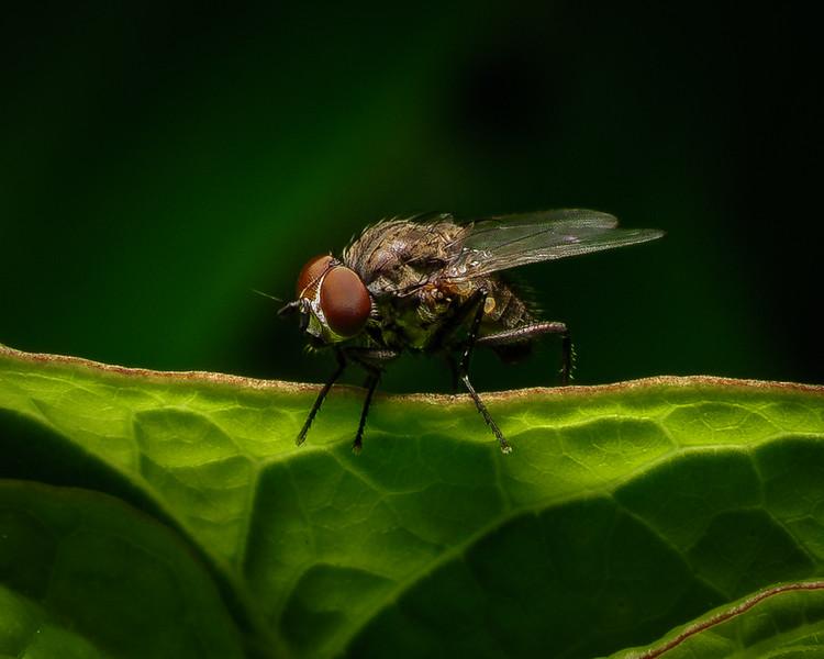 Flesh Fly - 8-19-18.jpg