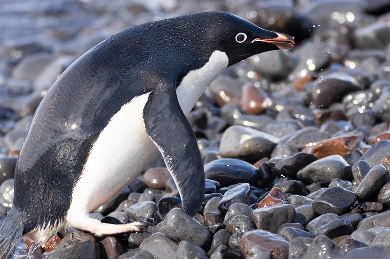 penguin coming out of the water.jpg