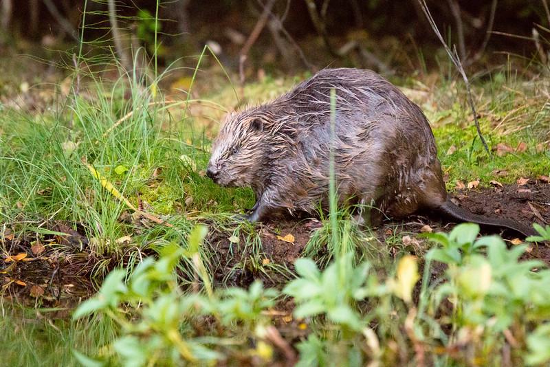 Wary Beaver