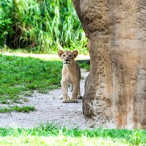 Lion Pride & Tiger